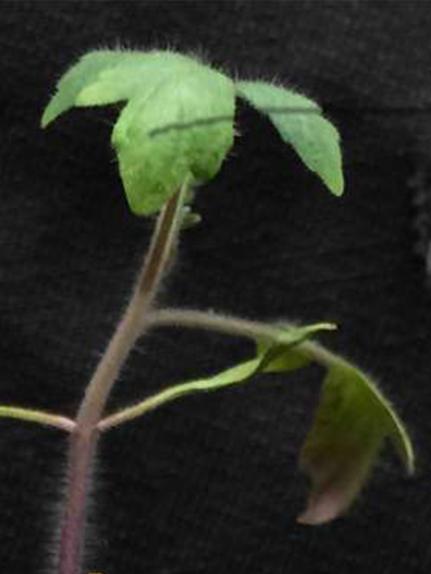 A split-root tomato plant