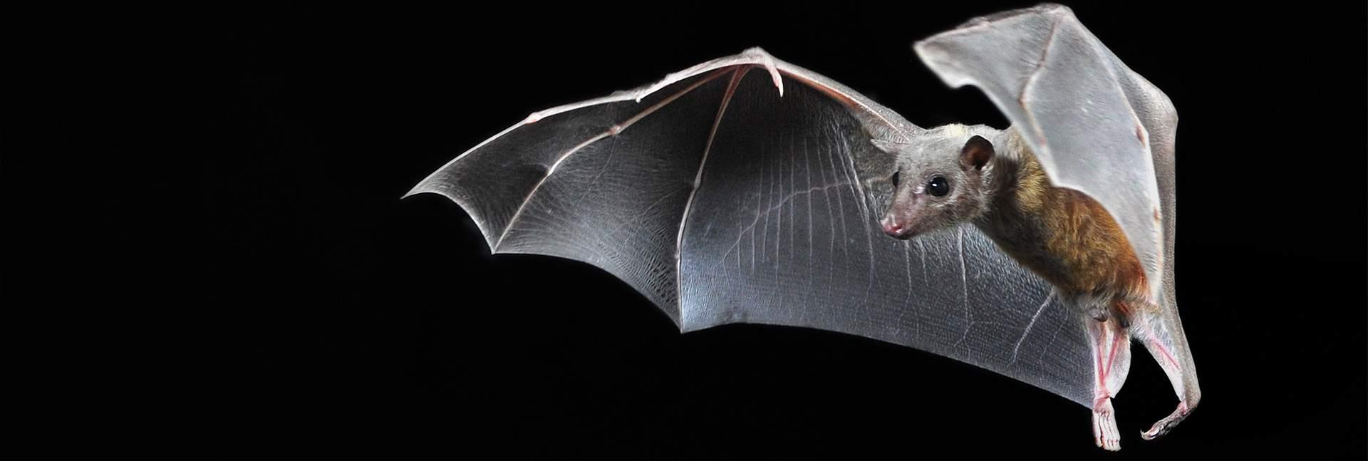 The Egyptian fruit bat
